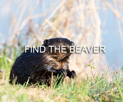 Beaver_Portfolio