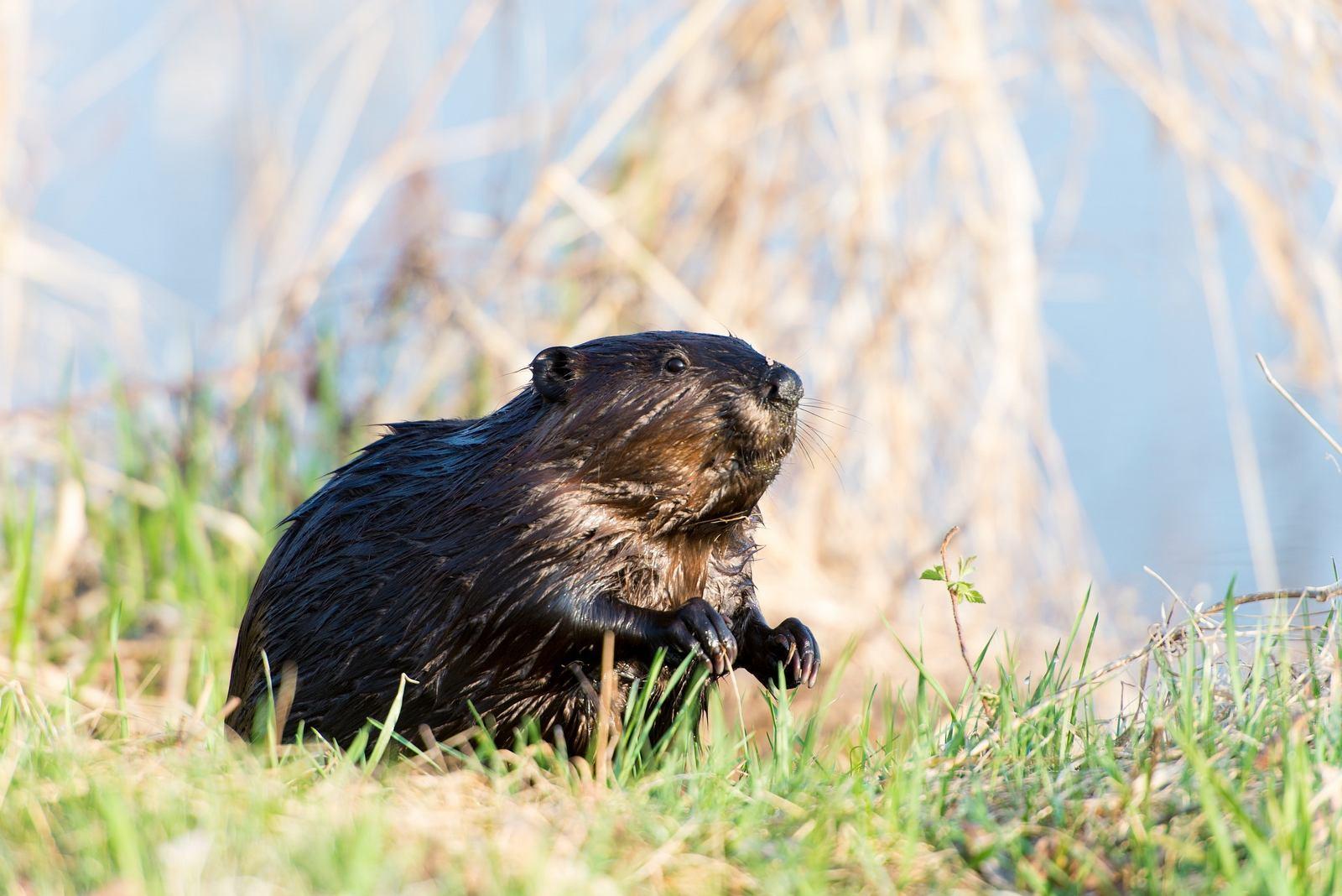 beaver-1997344_1920_wtwrr