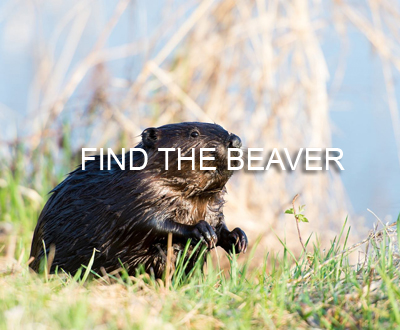 Find the Beaver